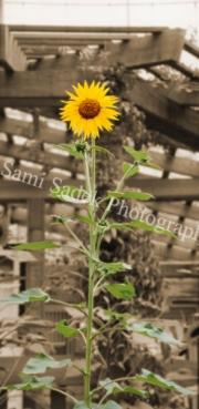 sunflower2-2